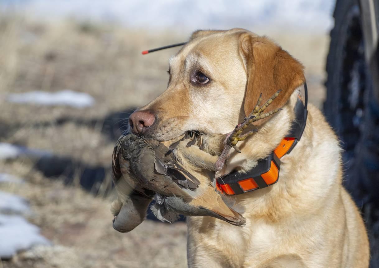 Collier GPS pour chien de chasse